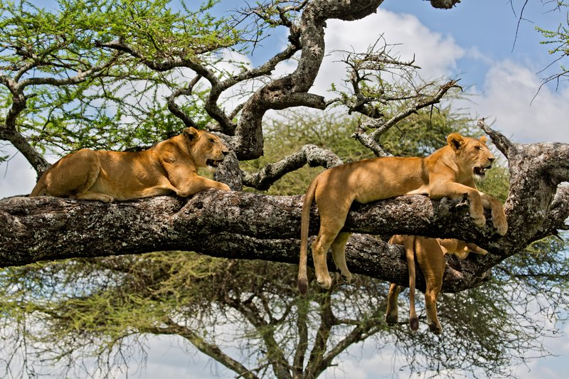 large_Lions_in_a_Tree_11-23.jpg