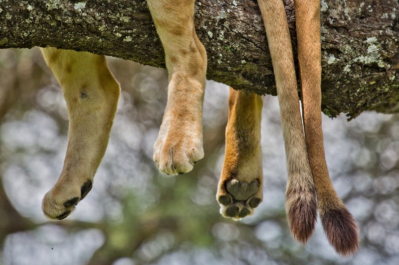 large_Lions_in_a_Tree_11-33.jpg