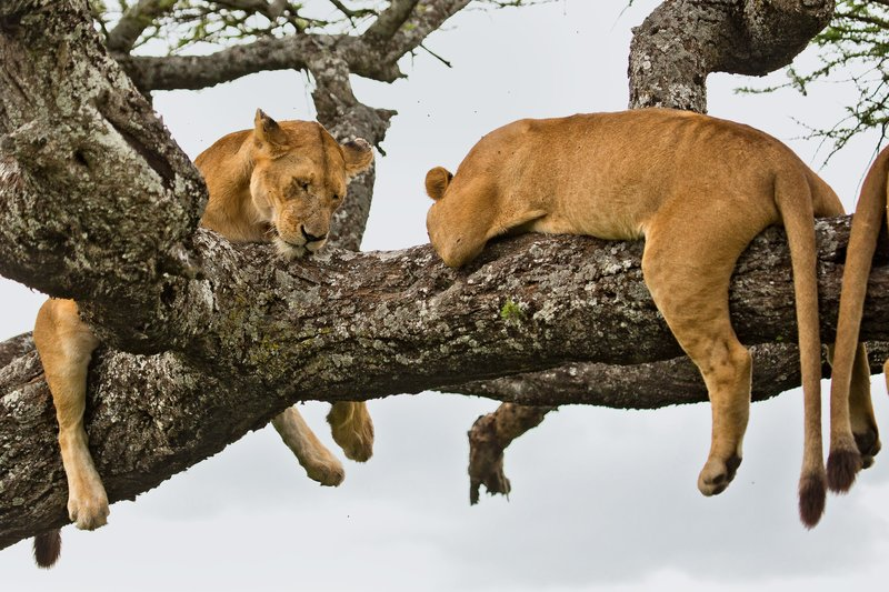 large_Lions_in_a_Tree_11-36.jpg