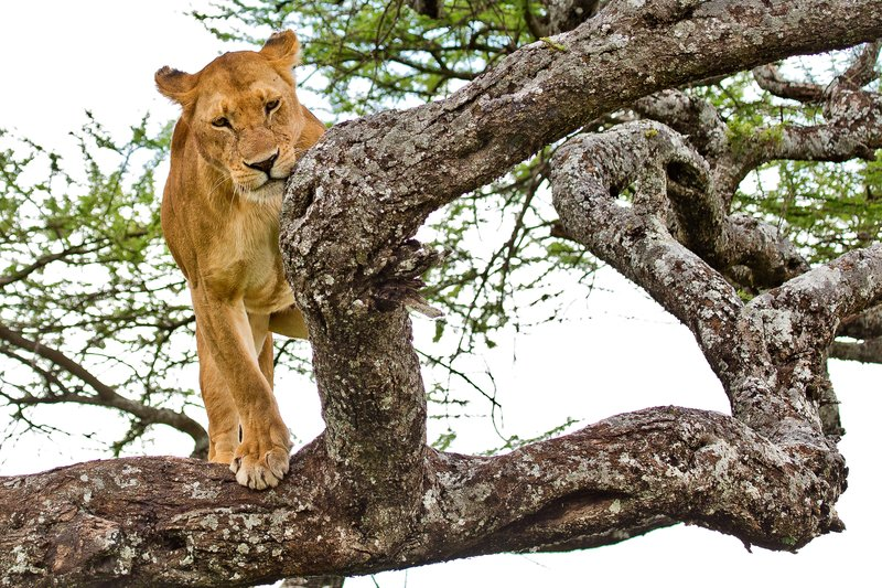 large_Lions_in_a_Tree_11-39.jpg