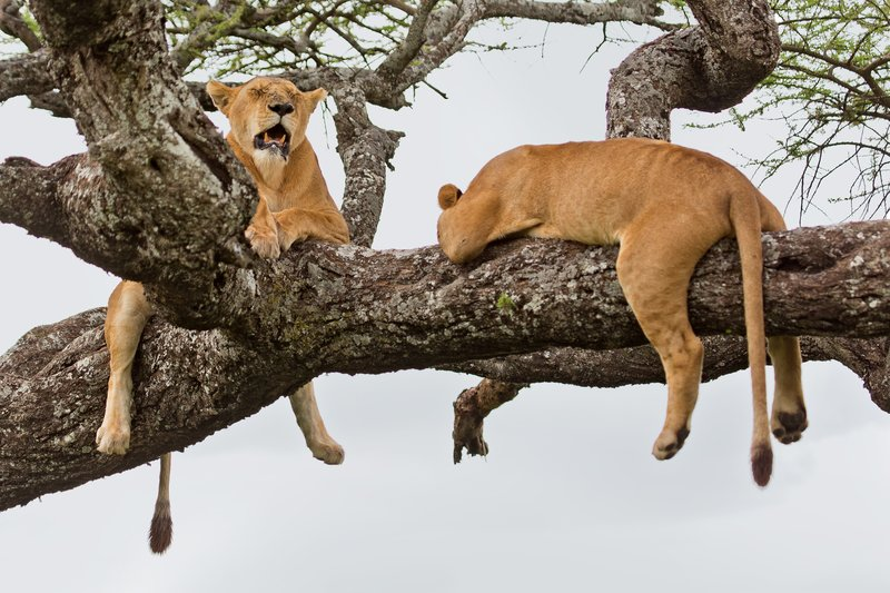 large_Lions_in_a_Tree_11-41.jpg