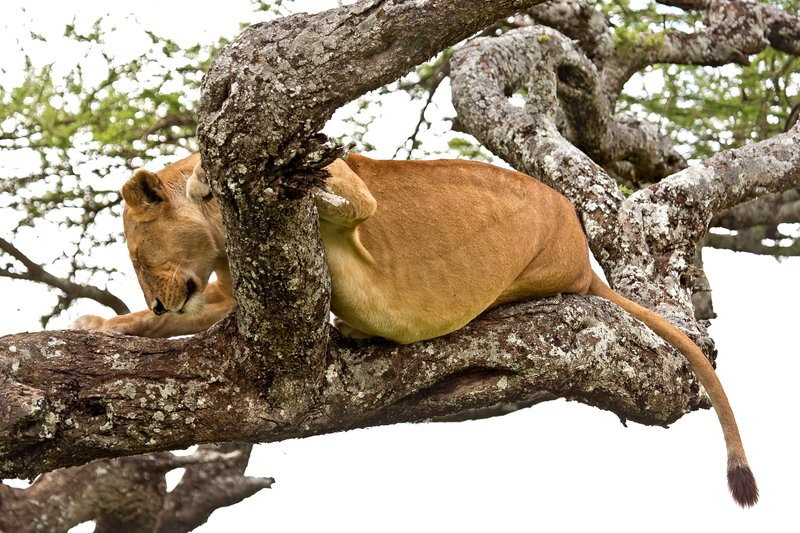 large_Lions_in_a_Tree_11-42.jpg