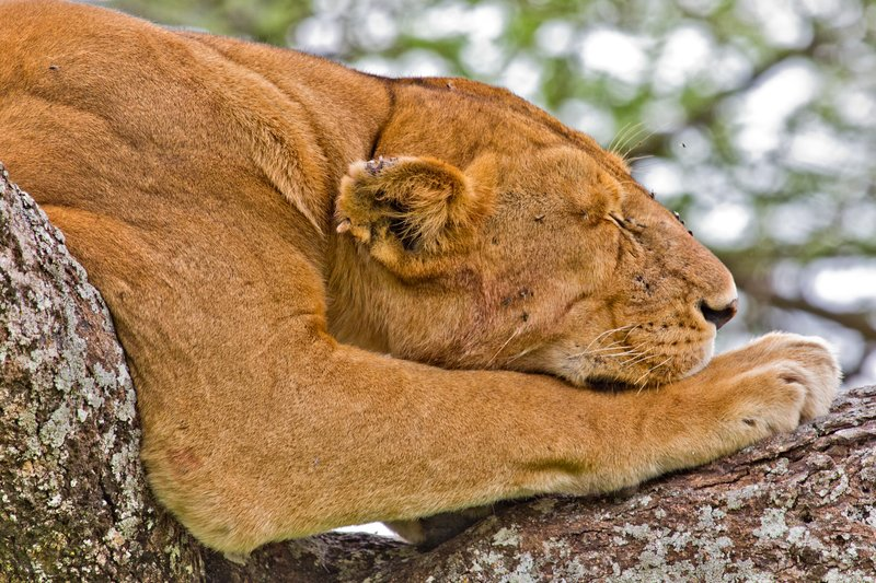 large_Lions_in_a_Tree_11-46.jpg