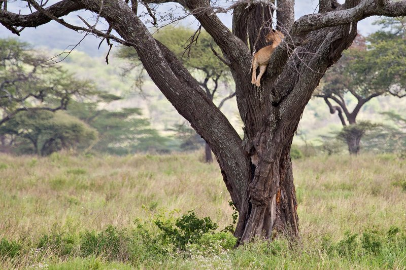 large_Lions_in_a_Tree_11-5.jpg