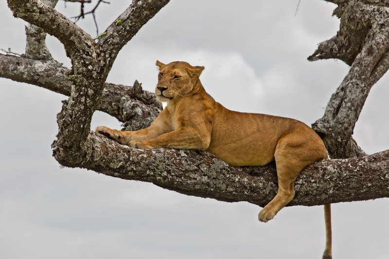 large_Lions_in_a_Tree_11-6.jpg