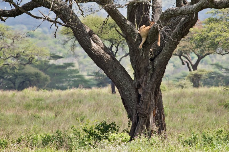 large_Lions_in_a_Tree_11-8.jpg