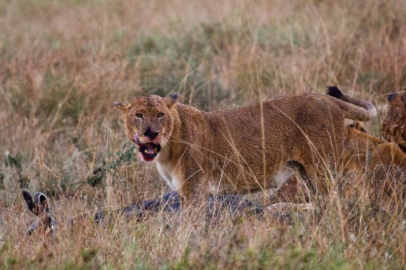 large_Lions_in_the_Rain_11-15.jpg