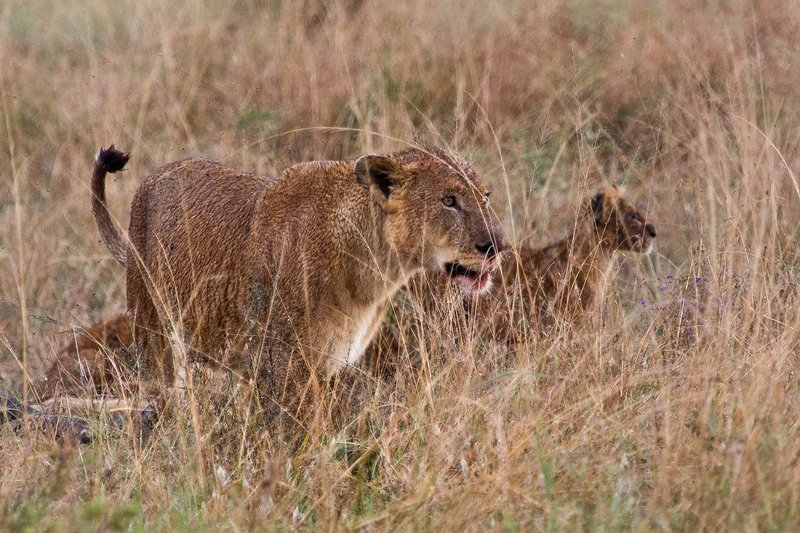 large_Lions_in_the_Rain_11-18.jpg