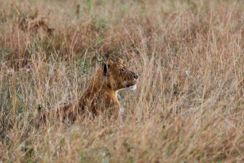 large_Lions_in_the_Rain_11-30.jpg