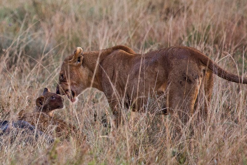 large_Lions_in_the_Rain_11-63.jpg