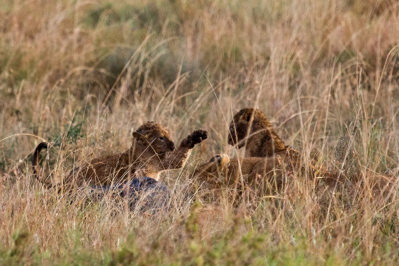 large_Lions_in_the_Rain_11-65.jpg