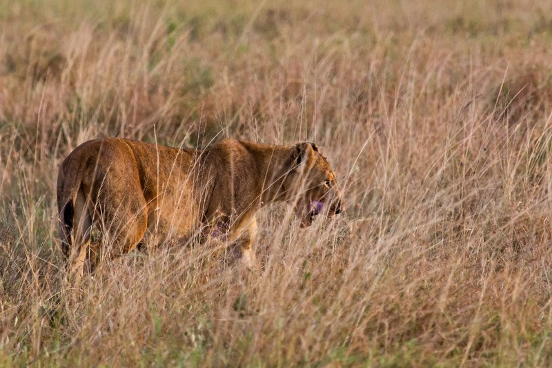 large_Lions_in_the_Rain_11-68.jpg