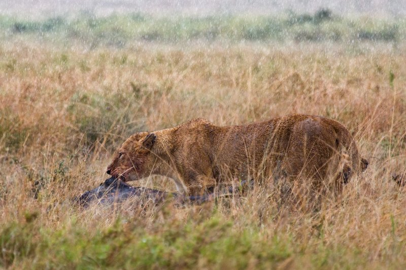 large_Lions_in_the_Rain_11-7.jpg