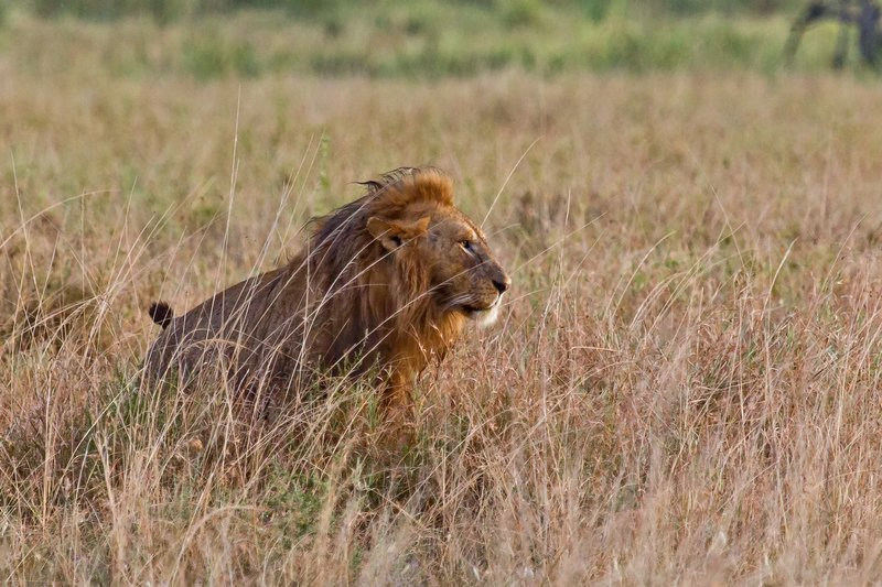 large_Lions_in_the_Rain_11-75.jpg