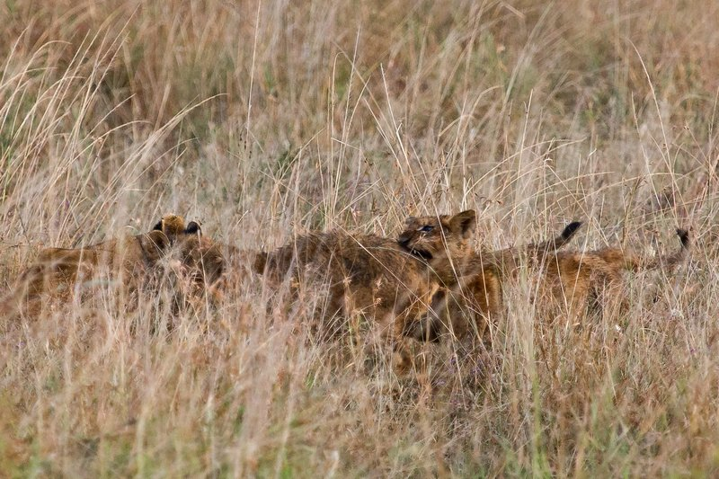 large_Lions_in_the_Rain_11-79.jpg