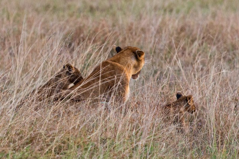 large_Lions_in_the_Rain_11-87.jpg