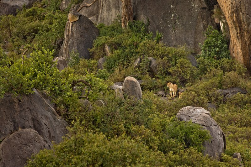 large_Lions_of_M.._Kopjes_301.jpg