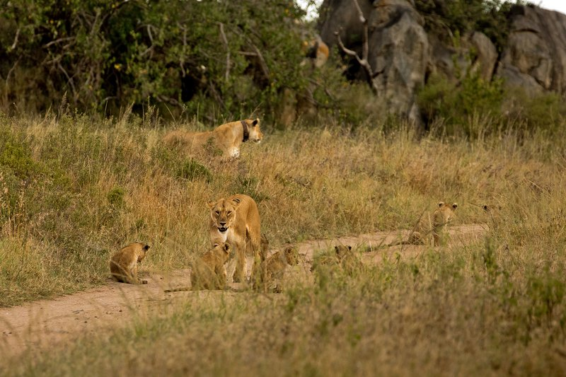 large_Lions_of_M.._Kopjes_304.jpg