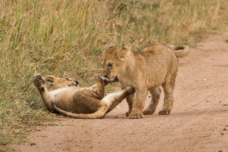 large_Lions_of_M.._Kopjes_310.jpg