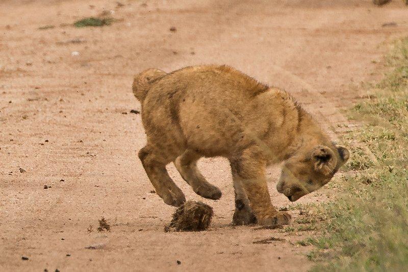 large_Lions_of_M.._Kopjes_311.jpg
