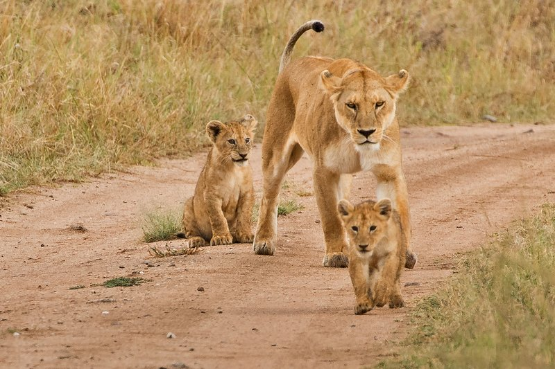 large_Lions_of_M.._Kopjes_314.jpg