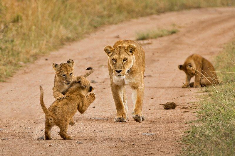 large_Lions_of_M.._Kopjes_320.jpg