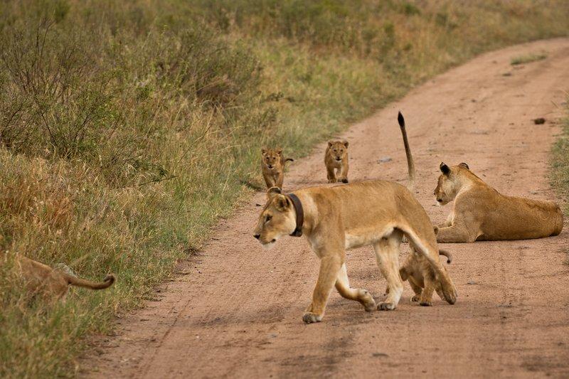 large_Lions_of_M.._Kopjes_325.jpg