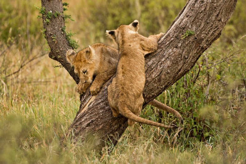 large_Lions_of_M.._Kopjes_328.jpg