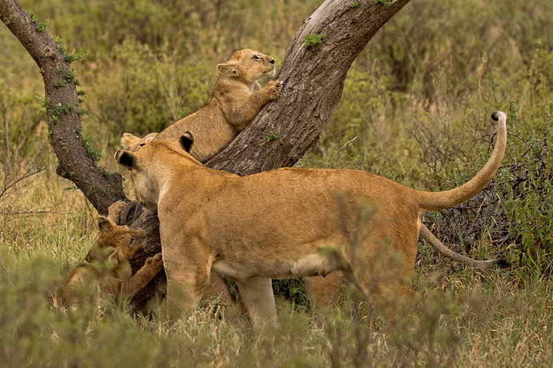 large_Lions_of_M.._Kopjes_333.jpg