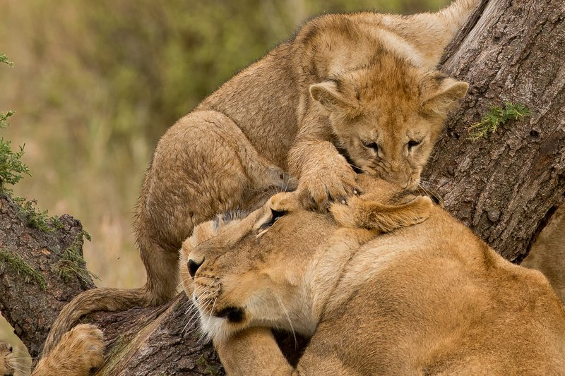 large_Lions_of_M.._Kopjes_336.jpg