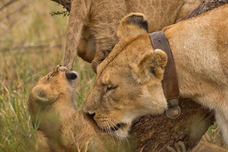 large_Lions_of_M.._Kopjes_347.jpg