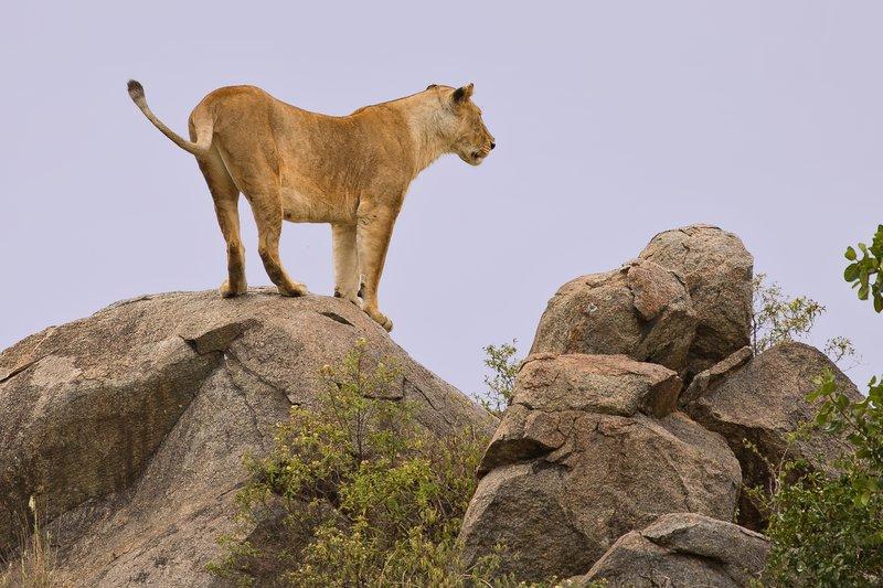 large_Lions_of_M.._Kopjes_370.jpg