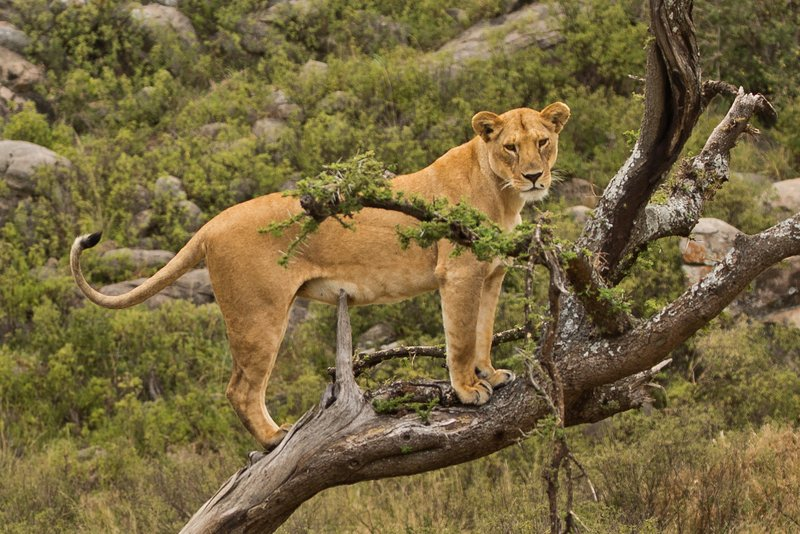 large_Lions_of_M.._Kopjes_395.jpg
