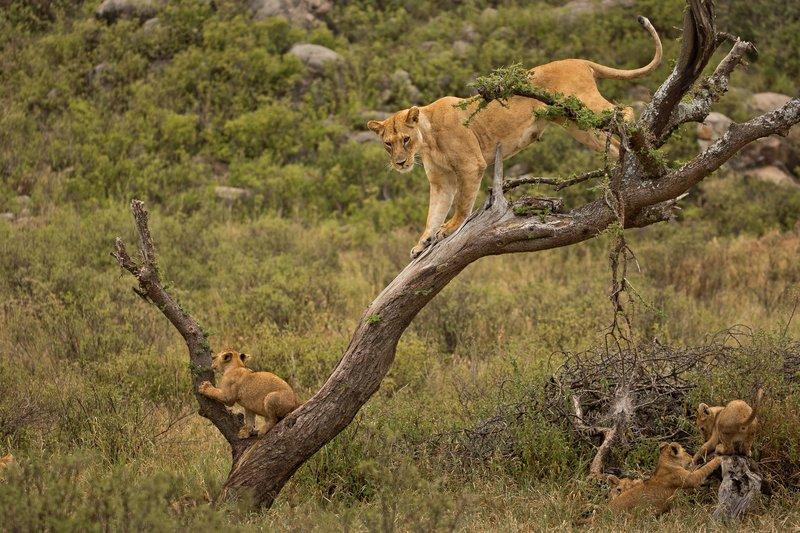 large_Lions_of_M.._Kopjes_401.jpg