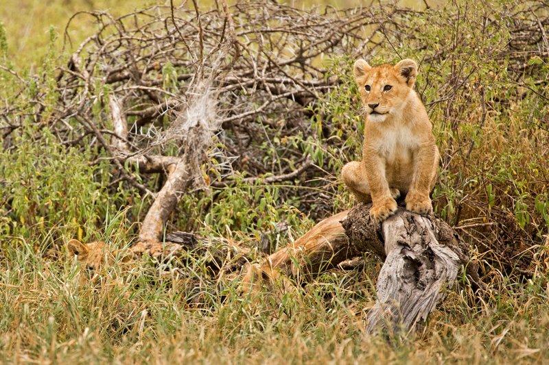 large_Lions_of_M.._Kopjes_405.jpg