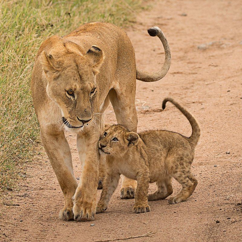 large_Lions_of_M.._Kopjes_504.jpg