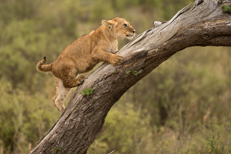 large_Lions_of_M.._Kopjes_521.jpg