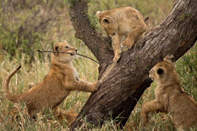 large_Lions_of_M.._Kopjes_535.jpg
