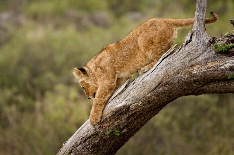 large_Lions_of_M.._Kopjes_541.jpg