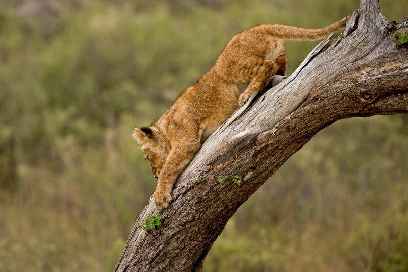 large_Lions_of_M.._Kopjes_543.jpg