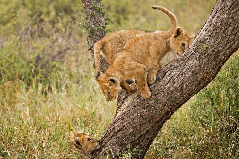 large_Lions_of_M.._Kopjes_547.jpg