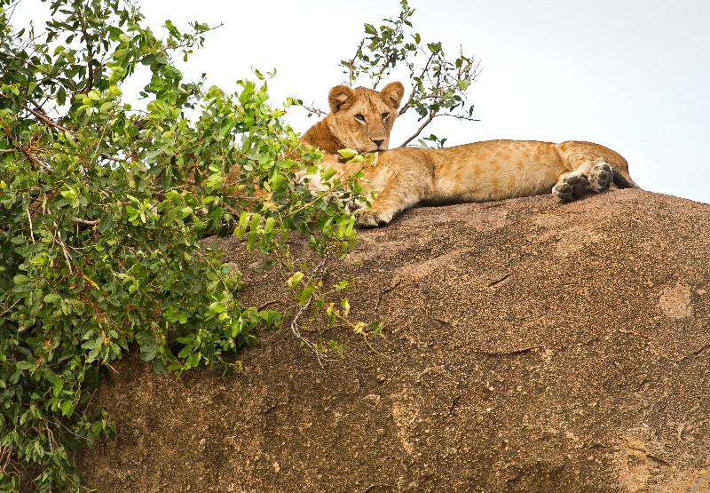 large_Lions_on_Kopje_2.jpg