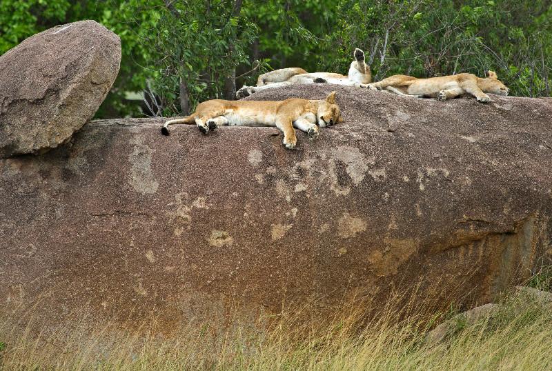 large_Lions_on_Kopje_4.jpg