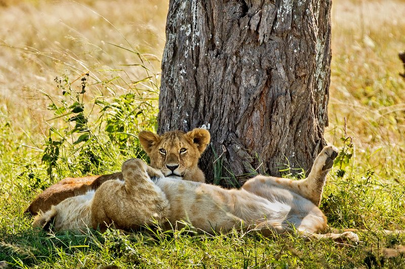 large_Lions_under_a_tree_3.jpg