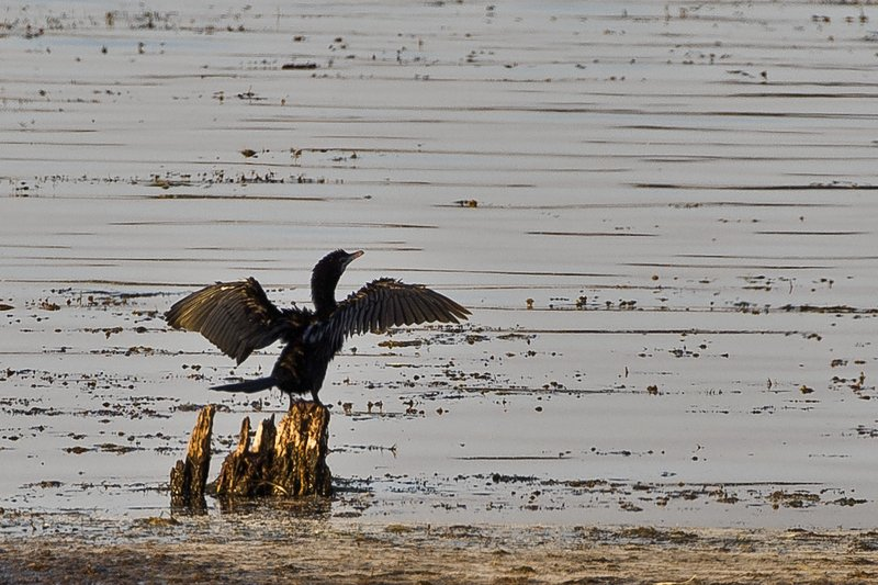 large_Little_Cormorant_103.jpg