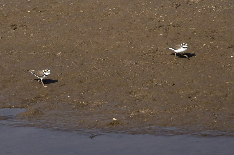 large_Little_Ringed_Plovers_51.jpg