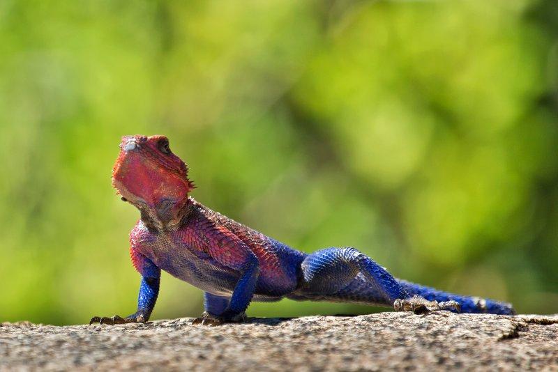 large_Lizard__Fl.._Agama_10-2.jpg