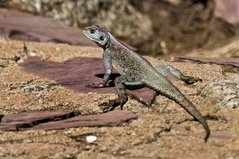 large_Lizard_at_Naabi_Hill_9-1.jpg