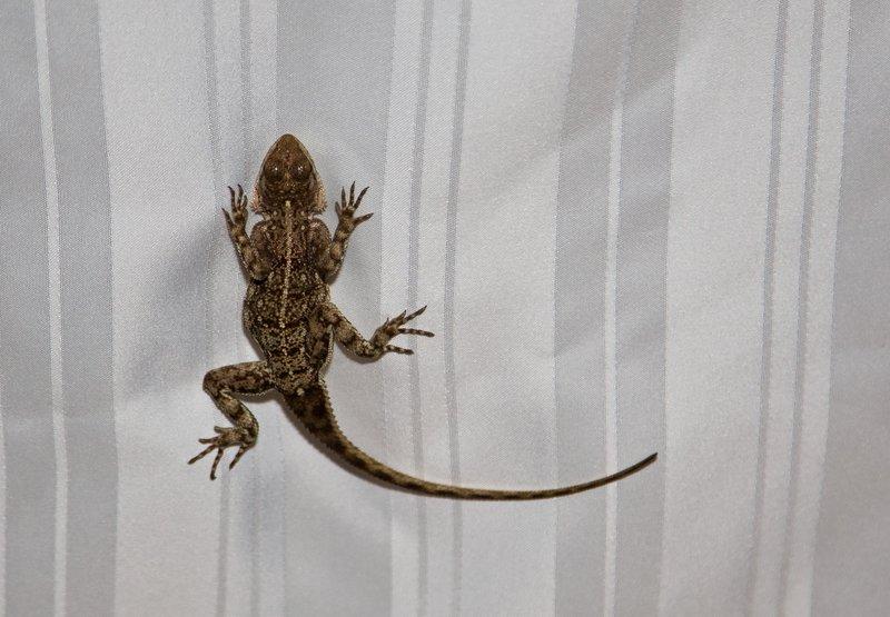 large_Lizard_on_..urtain_10-1.jpg