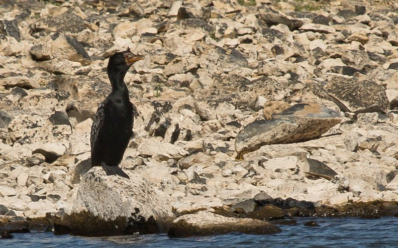 large_Long_Tailed_Cormorant_2.jpg